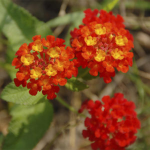 Lantana camara Dallas Red