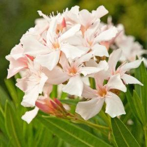 Nerium oleander Alsace