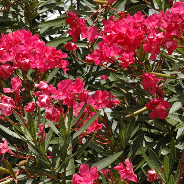 Nerium oleander Hardy Red