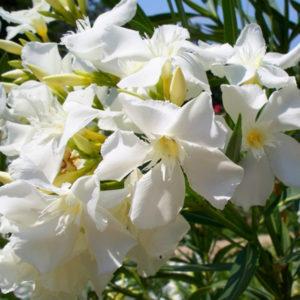 Nerium oleander Mont Blanc