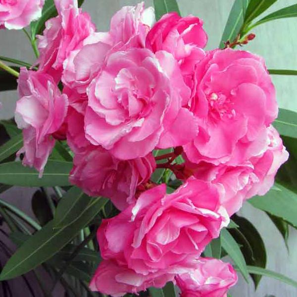 Nerium oleander Rigoletto