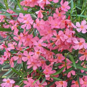 Nerium oleander Soleil Levant