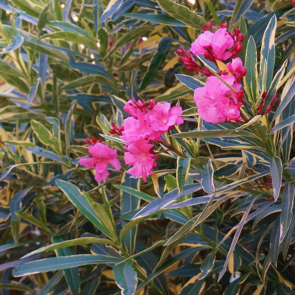 Nerium oleander Variegatum