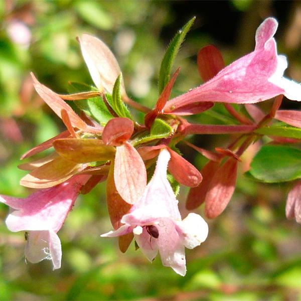 Abelia shumannii