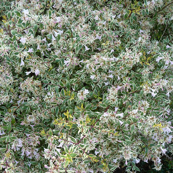 Abelia x grandiflora Hopleys