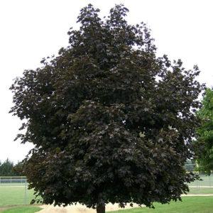 Acer platanoides «Faassen's Black» — Клен остролистный «Faassen's Black»