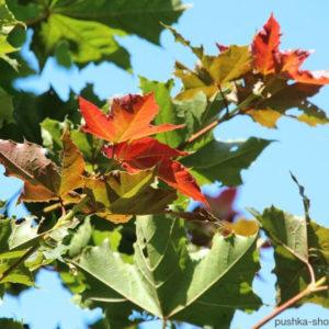 Acer platanoides «Deborah» — Клен остролистный «Deborah»