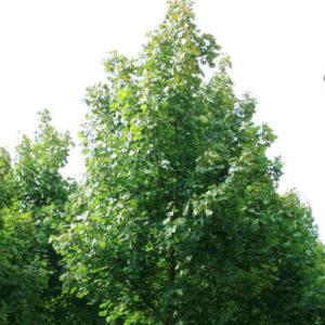 Acer platanoides «Farlake's Green» — Клен остролистный «Farlake's Green»