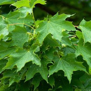 Acer platanoides — Клен остролистный