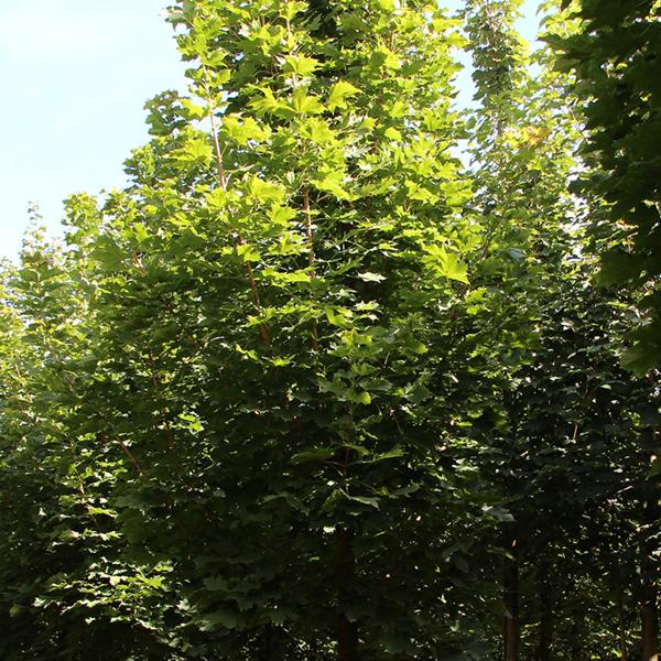 Acer platanoides «Ebben's Column» — Клен остролистный «Ebben's Column»