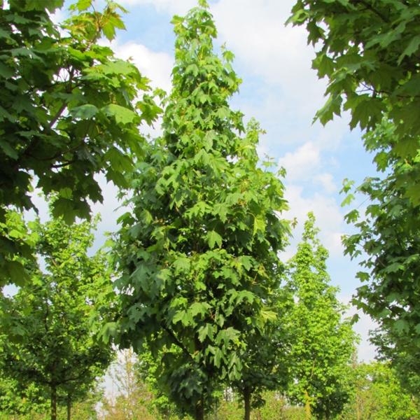 Acer platanoides «Columnare» — Клен остролистный «Columnare»