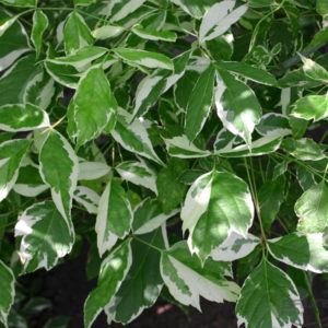 Acer negundo «Variegatum» — Клен ясенелистный «Variegatum»