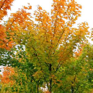 Acer platanoides «Cleveland» — Клен остролистный «Cleveland»