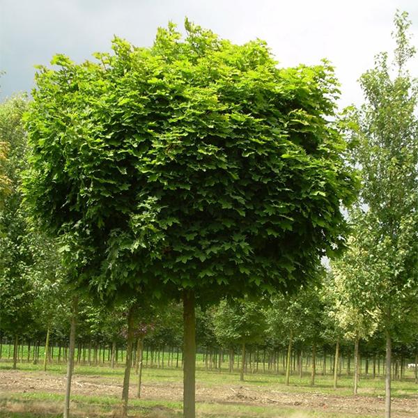 Acer platanoides «Globosum» — Клен остролистный «Globosum»