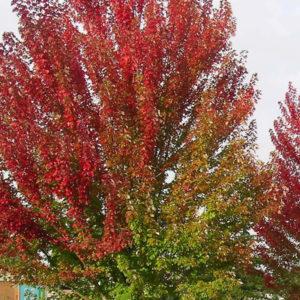 Acer x freemanii «Autumn Blaze» — Клен Фримана «Autumn Blaze»