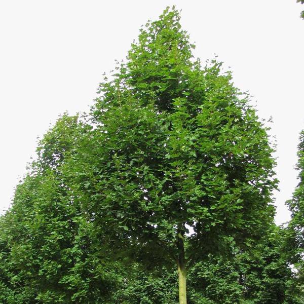 Acer platanoides «Olmsted» — Клен остролистный «Olmsted»