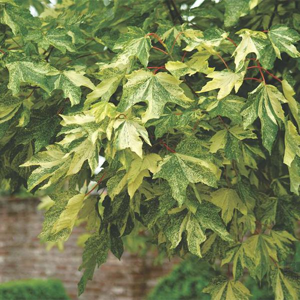 Acer pseudoplatanus «Leopoldii» — Клен ложноплатановый «Leopoldii»