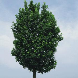 Acer pseudoplatanus «Rotterdam» — Клен ложноплатановый «Rotterdam»