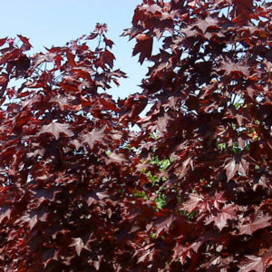 Acer platanoides «Royal Red» — Клен остролистный «Royal Red»