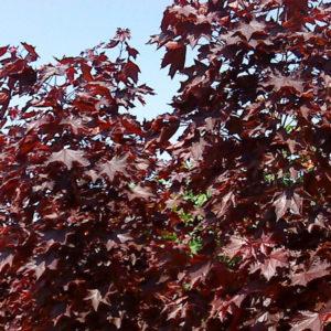 Acer platanoides «Royal Red» — Клен остролистный «Royal Red»