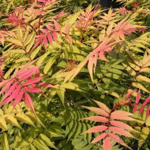 Sorbaria sorbifolia «Sem» — Рябинник рябинолистный «Sem»