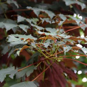 Acer pseudoplatanus «Atropurpureum» — Клен ложноплатановый «Atropurpureum»