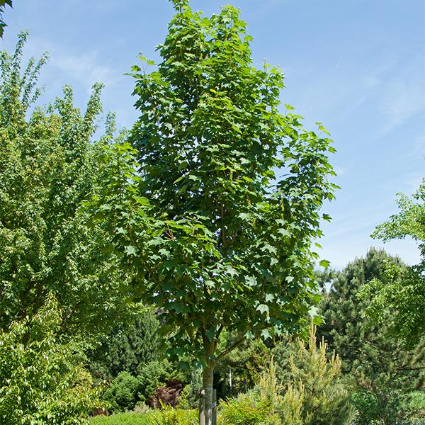 Acer pseudoplatanus «Bruchem» — Клен ложноплатановый «Bruchem»