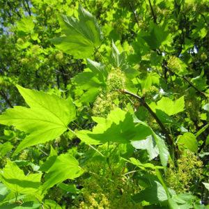 Acer pseudoplatanus — Клен ложноплатановый