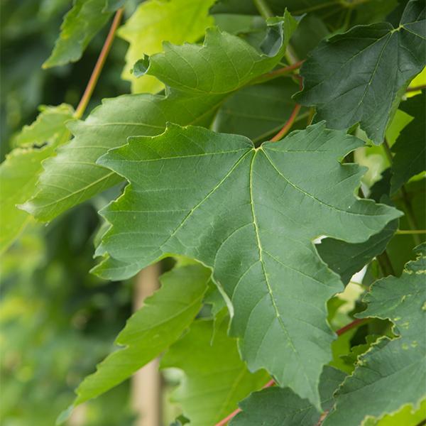 Acer pseudoplatanus «Wilhelmina» — Клен ложноплатановый «Wilhelmina»
