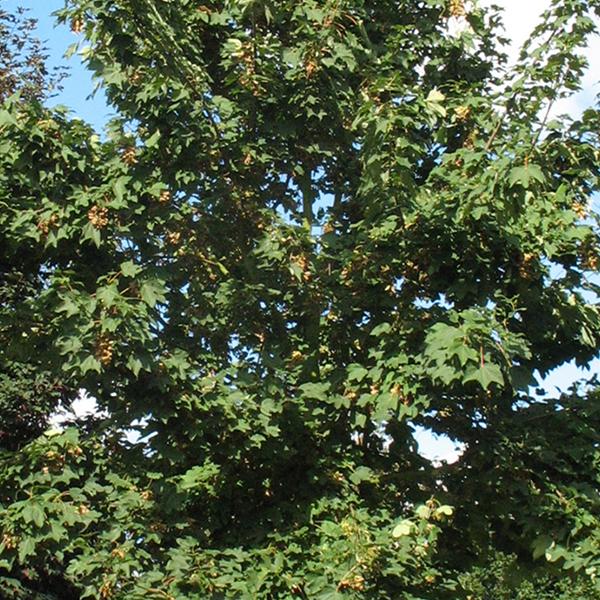 Acer pseudoplatanus «Zeewolde» — Клен ложноплатановый «Zeewolde»