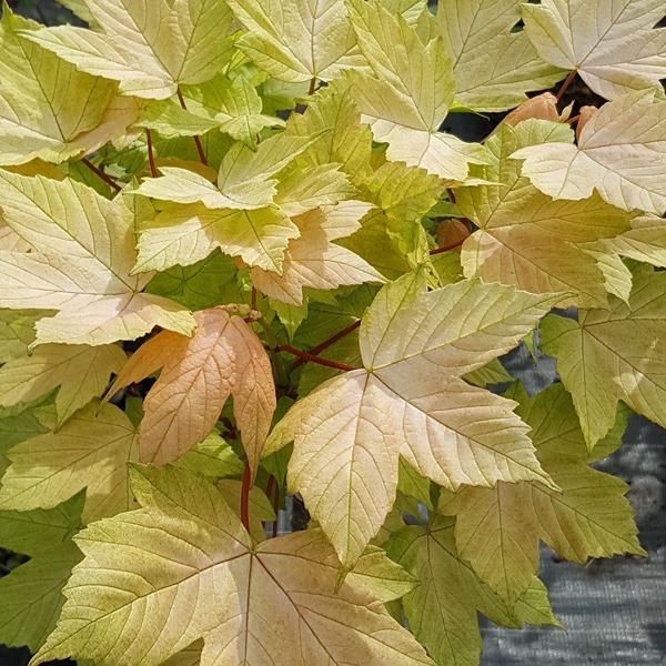 Acer pseudoplatanus «Brilliantissimum» — Клен ложноплатановый «Brilliantissimum»