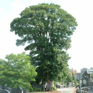 Acer pseudoplatanus «Erectum» — Клен ложноплатановый «Erectum»