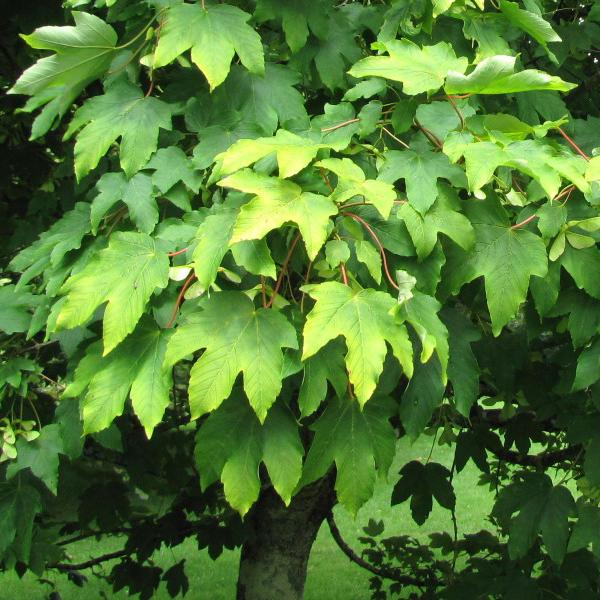 """Acer pseudoplatanus """"Worley"""" - Клен ложноплатановый """"Worley"""""""