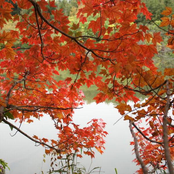 "Acer rubrum ""Autumn Flame"" - Клен красный ""Autumn Flame"""