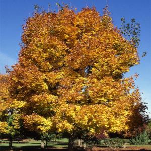 Acer platanoides «Summershade» — Клен остролистный «Summershade»