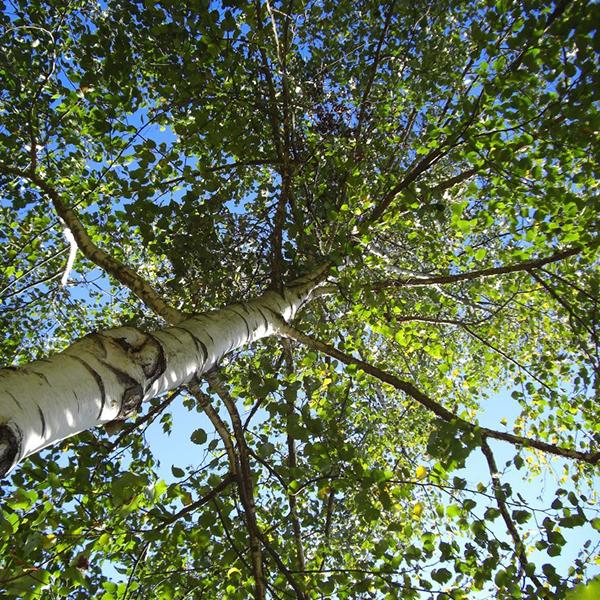 Betula pubescens - Береза пушистая