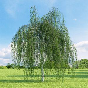 Betula pendula «Youngii» - Береза повислая «Youngii»