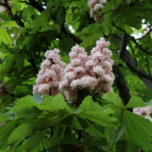 Aesculus hippocastanum «Baumannii» - Конский каштан обыкновенный «Baumannii»
