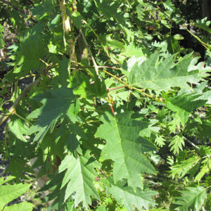 Alnus glutinosa «Laciniata» - Ольха черная «Laciniata»