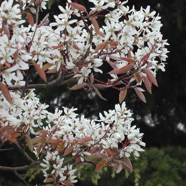 Amelanchier canadensis «Glennform» - Ирга канадская «Glennform»
