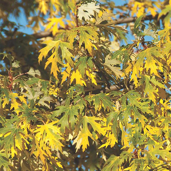 "Acer saccharinum ""Laciniatum Wieri"" - Клен серебристый ""Laciniatum Wieri"""