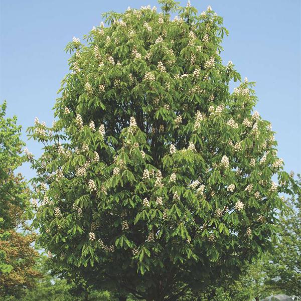 Aesculus hippocastanum «Pyramidalis» - Конский каштан обыкновенный «Pyramidalis»