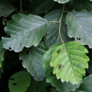 Alnus glutinosa var. barbata - Ольха бородатая