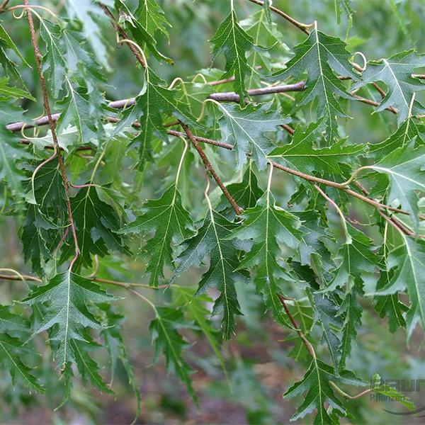 Betula pendula «Crispa» - Береза повислая «Crispa»