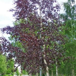 Betula pendula «Purpurea» - Береза повислая «Purpurea»