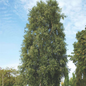 Betula pendula «Fastigiata» - Береза повислая «Fastigiata»