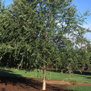 Betula nigra «Dura Heat» - Береза черная «Dura Heat»