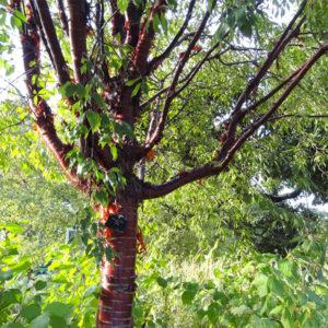 Betula lenta - Береза вишневая