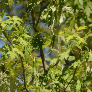 Acer saccharum - Клен сахарный