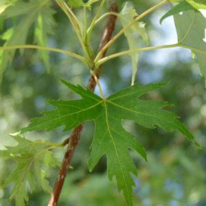 """Acer saccharinum """"Born's Gracious"""" - Клен серебристый """"Born's Gracious"""""""